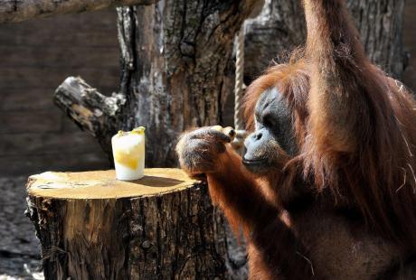 Al Bioparco fine settimana dedicato agli oranghi