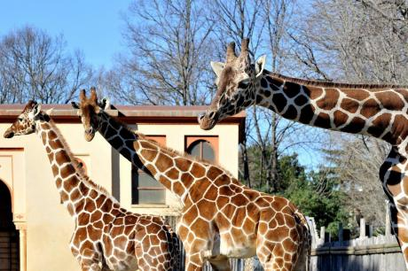 Domenica 24 giugno 'La giraffa in numeri'