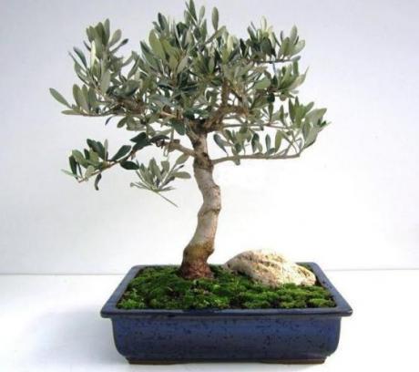 A Matera una mostra e un corso di bonsai e suiseki